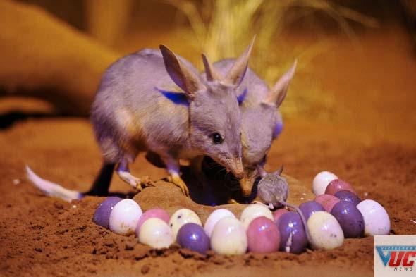 Người Úc thích dùng loại thỏ nhỏ Bilby thay cho Bunny vào dịp Easter. Ảnh: wildlife.com.au