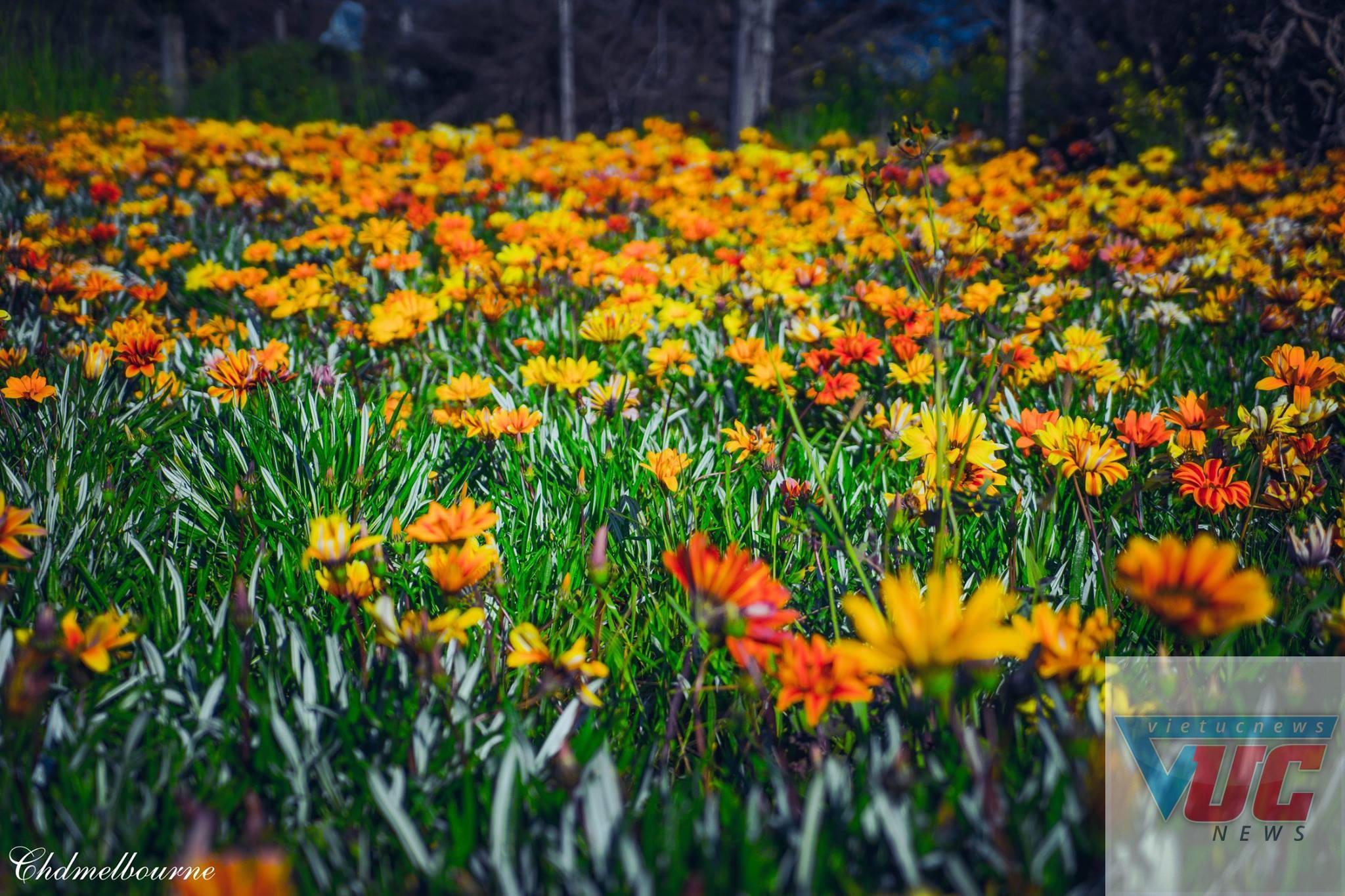 3 - Những cánh đồng hoa cỏ dại đẹp ngất ngây tại bang Victoria