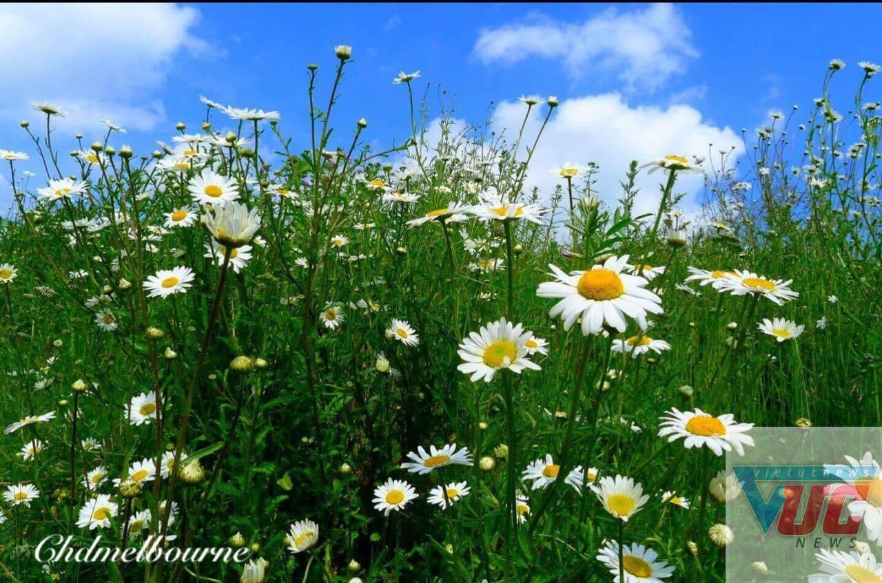 7 - Những cánh đồng hoa cỏ dại đẹp ngất ngây tại bang Victoria