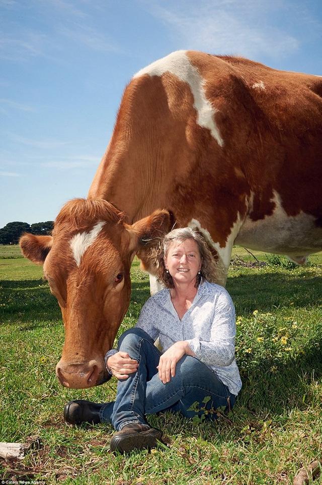 Hồi tháng 8/2014, cô bò Blosom ở Mỹ được xác nhận là con bò cao nhất thế giới (1m9) nhưng nó đã chết trong năm ngoái. (Nguồn: Caters News Agency)